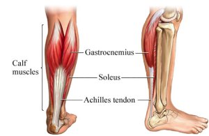 soleus diagram