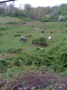 Cows - Mile 10